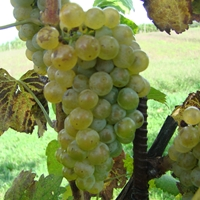 Albarino Grape