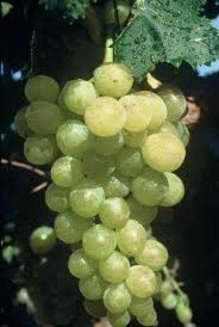 Muscat of Alexandria CL 02 grapes