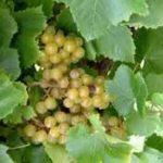 Blanc Du Bois grapes