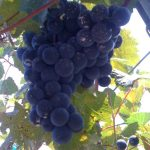 Lomanto grapes