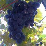 Lomanto grapes