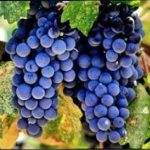 Merlot CL03 grapes