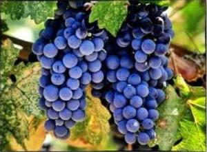 Merlot CL03 grapes