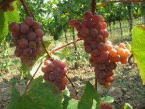 Brilliant pink grapes