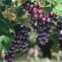 Extra hybrid grapes