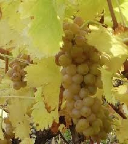 Muscat Blanc grapes