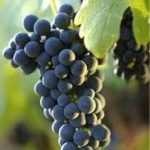 Shiraz (Syrah) grapes