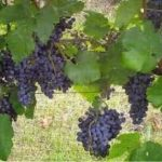 Black Spanish (Lenoir) grapes