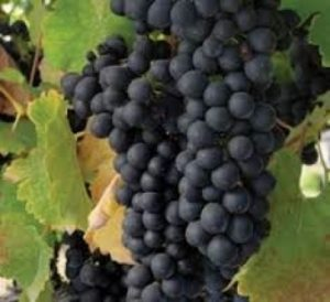 Black Spanish grapes