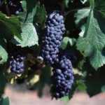 Wine King grapes